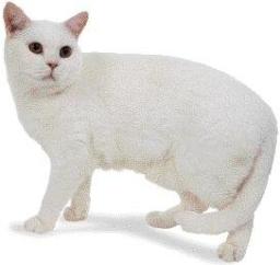 Gatto pelo corto bianco