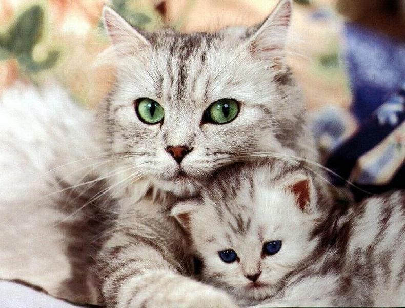 Le Razze Di Gatti A Pelo Lungo