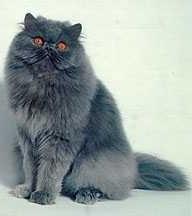 Persiano Blu