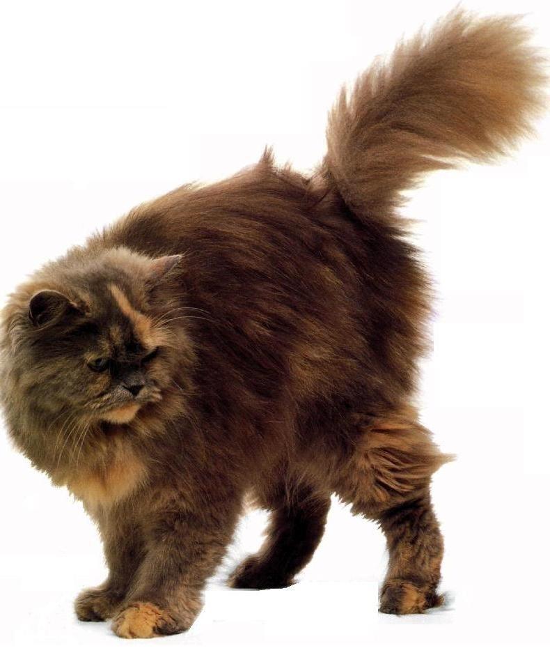 Elenco Delle Razze Di Gatti A Pelo Lungo