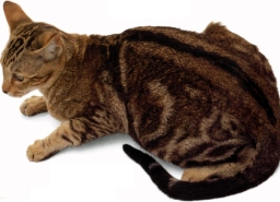 Orientale chocolate tabby