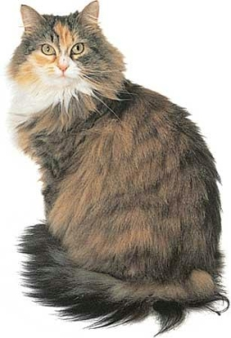 Maine coon tricolore